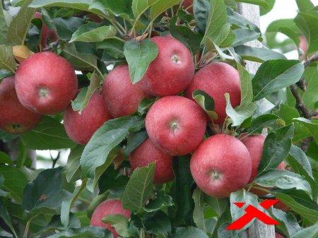 Как заставить деревья плодоносить?